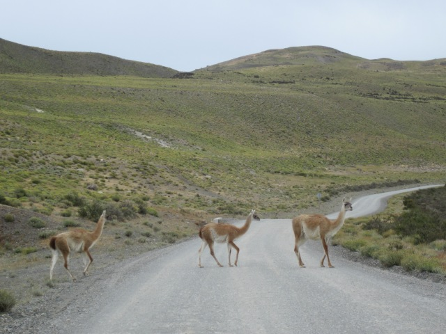 Guanacos on the road to Torres del Paine, Chile
