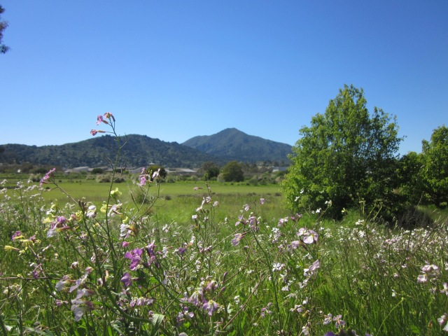 View of Mt Tamalpais in Marin from a recently discovered trail. The full story to come soon!