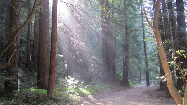 Rays in sunlight in the redwoods. On the Buzzard's Roost trail.